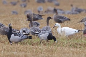 Barnacle Geese and Snow Goose with Pink-footed Geese
