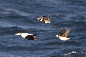 Eider (m) and Long-tailed Ducks (m & f)