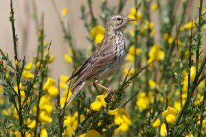 Meadow Pipit on Broom