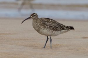 Whimbrel on Findhorn beach