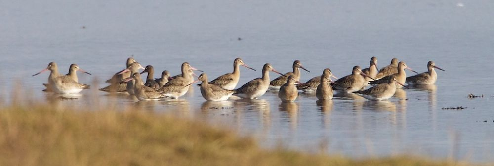 Black-tailed Godwit on southern shore of bay