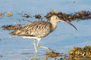 Curlew on Findhorn Bay