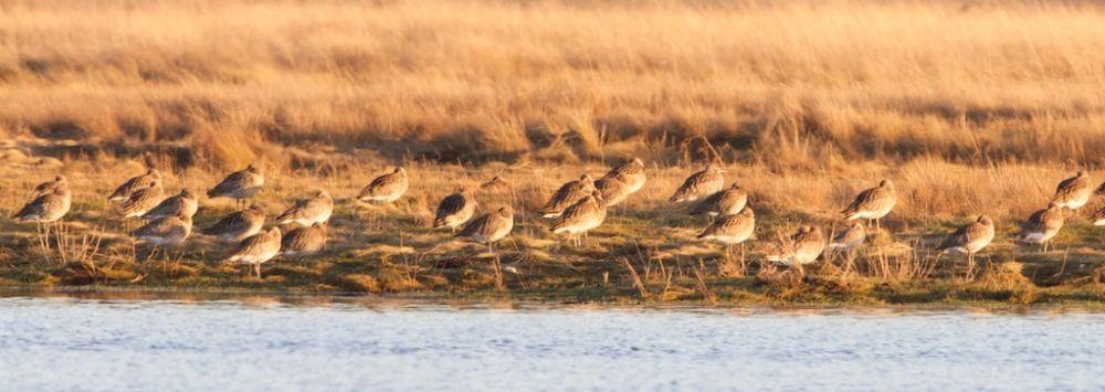 Curlew roosting on salt-marsh by Kinloss