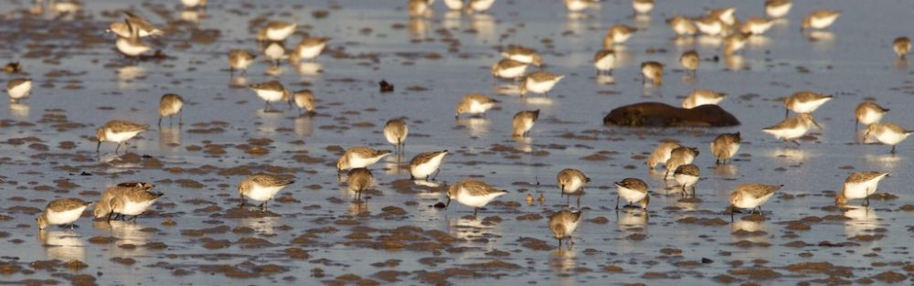 Dunlin feeding in centre of bay