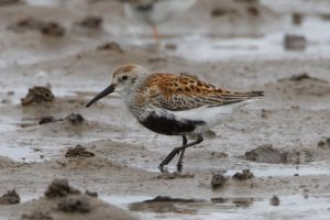 Summer plumage - typical Dunlin alpina