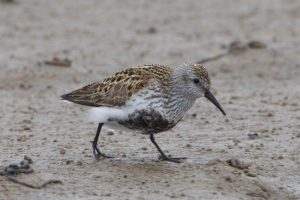 Summer plumage - typical Dunlin schinzii