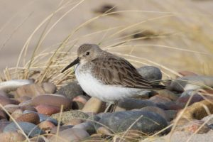 Winter plumage Dunlin