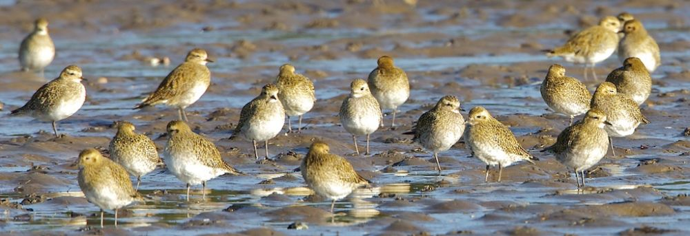 Golden Plover in winter on the bay