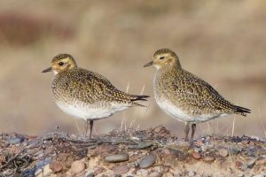 Golden Plover in winter on Findhorn east dunes