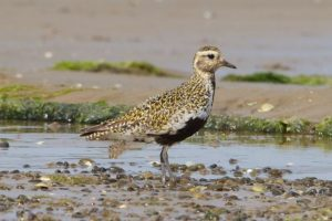 Southern race Golden Plover, summer plumage