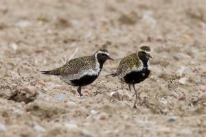 Northern race Golden Plover, summer plumage