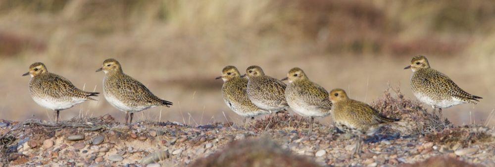 Golden Plover roosting in Findhorn east dunes