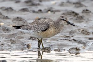 Juvenile Knot in September