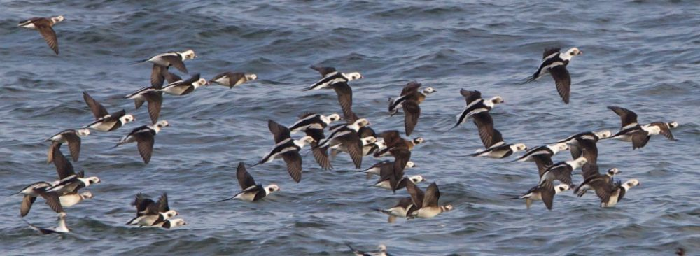 Long-tailed Duck off Findhorn Beach