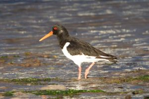Oystercatcher in summer
