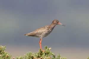 Redshank in summer