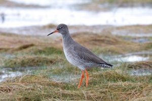 Redshank on salt-marsh in winter