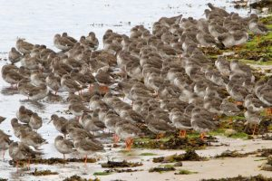 Redshank at rest by village shore