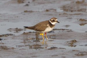 Ringed Plover juvenile. Ringed in Romsdal, Norway 2 weeks before in August 2014