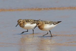 Sanderling in summer