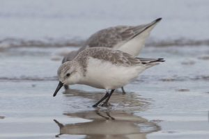 Sanderling in winter