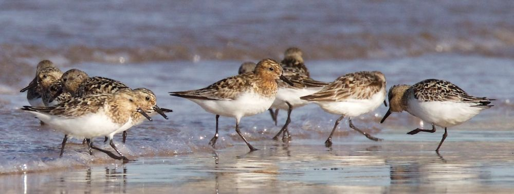 Sanderling on Findhorn Beach