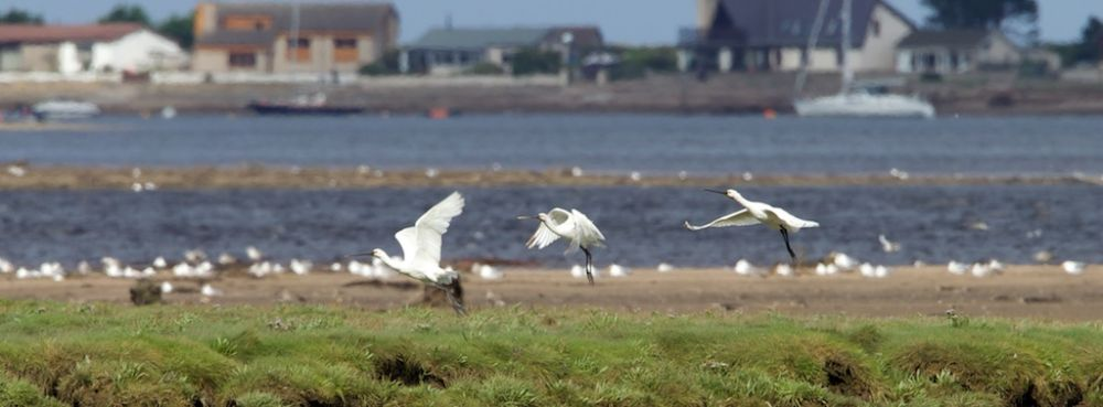 Spoonbill by Findhorn channel in SW corner of bay