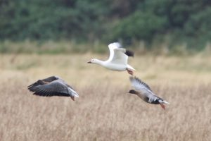 Snow Goose with Pink-footed Goose