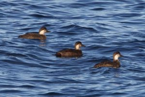 Common Scoter (female)