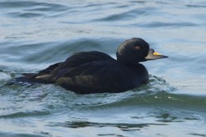 Common Scoter (male)