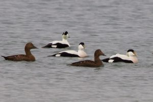 "Eider. Male on right showing ""sails"" typical of Arctic subspecies"