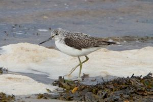 Greenshank by village shore