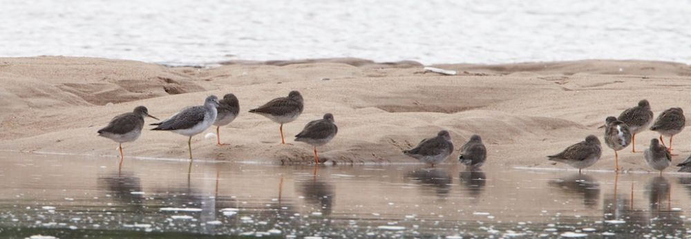 Greenshank on sandbar in Bay with Redshank