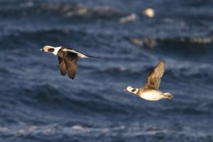 Long-tailed Duck (male & female) in winter