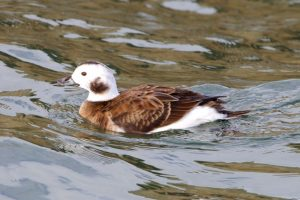 Long-tailed Duck (female) in winter