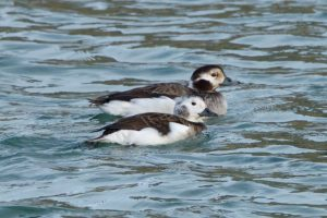Long-tailed Duck (juveniles) in winter