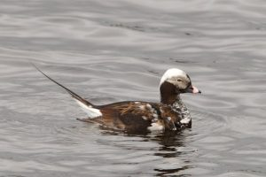 Long-tailed Duck (male) changing to summer plumage