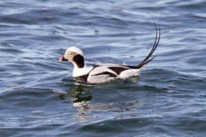 Long-tailed Duck (male) in winter