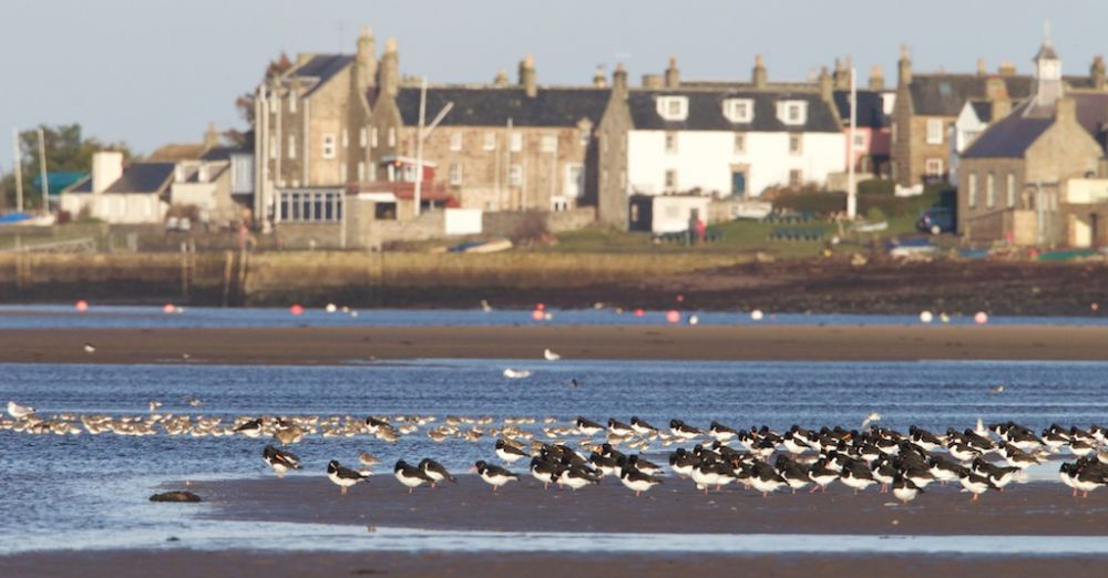 Oystercatcher and other waders by shore at Findhorn