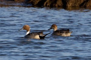 Pintail male (l) and female (r)
