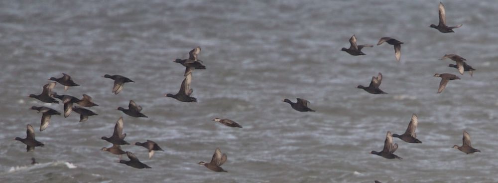 Common Scoters off Findhorn beach