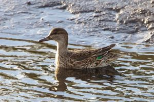 Teal (female)