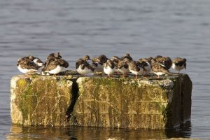 Turnstone at roost