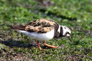 Turnstone in summer