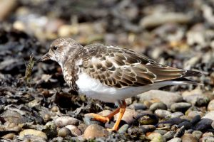 Turnstone in winter