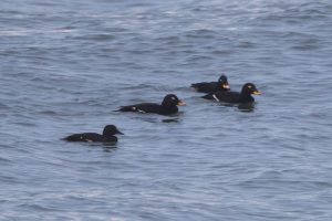 Velvet Scoter (female in front with 3 males)