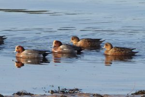 Wigeon by village shore