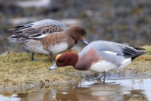 Wigeon female (l) and male (r)