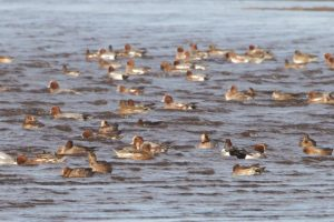 Flock of Wigeon in Findhorn Bay